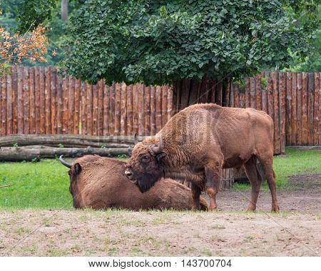 European Bison. Large male bison - wonderful big animals.
