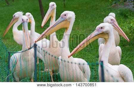 Great White Pelican is a bird in the pelican family. Big bird near the lake.