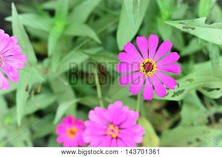 Pink Zinnias Flower the the Garden Thailand