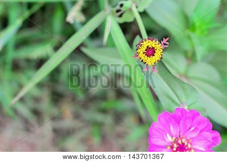 Zinnia Pollen without Petal in the Garden Thailand