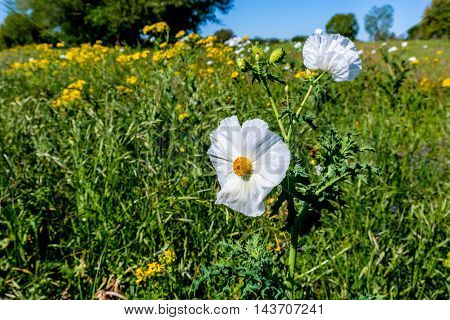 A Mixture of Various Texas Wildflowers Including White Poppies and Yellow Cut Leaf Groundsel (Packera tampicana) in a Rural Texas Field or Meadow.