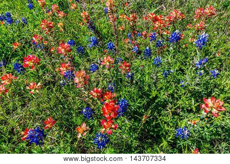 An Overhead Closeup of Bright Orange Indian Paintbrush (or Prairie Fire) Wildflowers in the Texas Hill Country. Castilleja foliolosa. poster