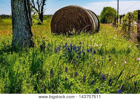A Meadow on a Farm or Ranch with Dry Round Hay Bales of Texas Grasses used to Feed Cattle Near Various Fresh Texas Wildflowers in Spring Including Indian Paintbrush and Texas Bluebonnets.
