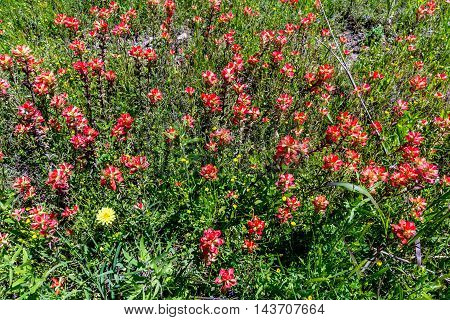 An Overhead Closeup of Bright Orange Indian Paintbrush (or Prairie Fire) Wildflowers in the Texas Hill Country. Castilleja foliolosa.