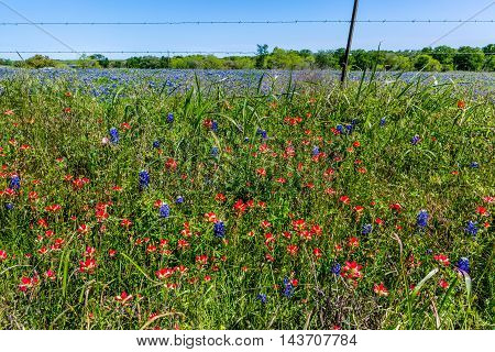 A Beautiful Texas Field Covered with Various Wildflowers Including the Famous Bright Blue Texas Bluebonnet (Lupinus texensis) and Bright Orange Indian Paintbrush Wildflowers as Well as Others.