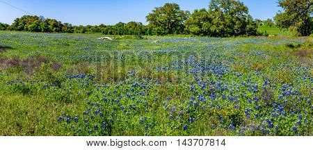 A Wide Angle Parnoramic View of a Beautiful Field Blanketed with the Famous Texas Bluebonnet (Lupinus texensis) Wildflowers.