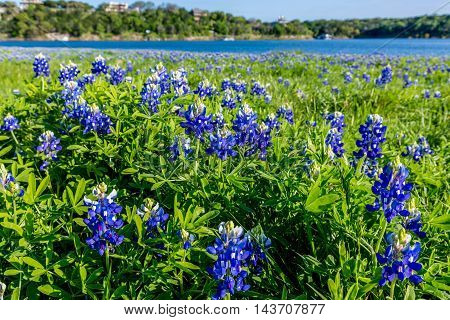 Closeup Perspective of Beautiful Texas Bluebonnet (Lupinus texensis) Wildflowers at Muleshoe Bend on Beautiful Blue Waters of Lake Travis in Texas.