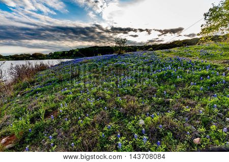 Beautiful Famous Texas Bluebonnet (Lupinus texensis) Wildflowers at Muleshoe Bend with Lake Travis in Texas.