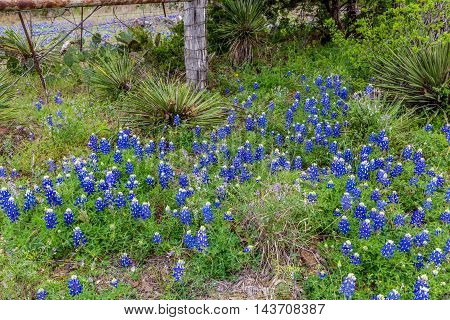 The Famous Texas Bluebonnet (Lupinus texensis) Wildflowers near a Fence on a Texas Road.