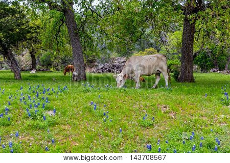 Cattle in a Beautiful Field Blanketed with the Famous Texas Bluebonnet (Lupinus texensis) Wildflowers.