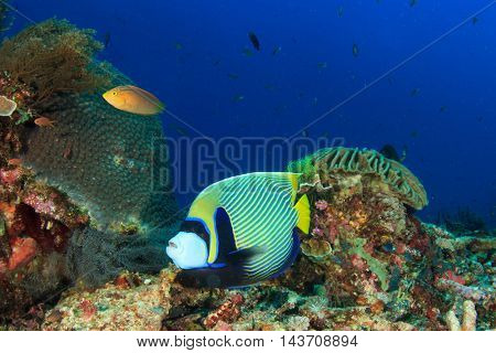 Emperor Angelfish reef fish and coral