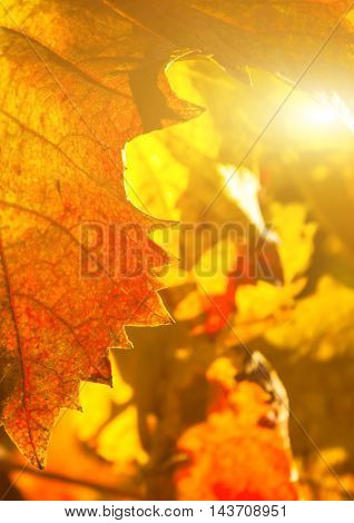 Beauty of vineyards in autumnal colors ready for harvest and production of wine