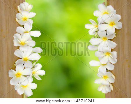 Beautiful white tropical frangipani flower blooming background