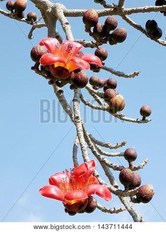 Flowers and buds on a branch of Bombax ceiba tree in Begin Park in Tel Aviv Israel