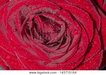red rose with water drops. Abstract background, empty template.
