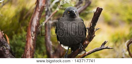 The black currawong out in nature during the day in Cradle Mountain, Australia resting on a tree branch.
