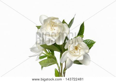 gardenia plant close up isolated