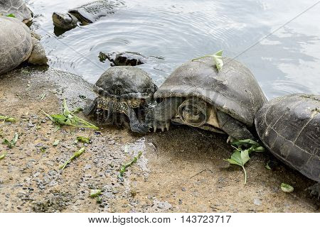 The Freshwater turtles Get in the water.
