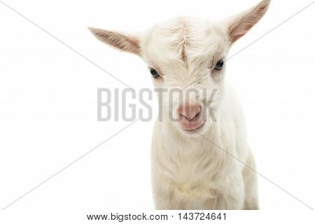 little white goat on a white background