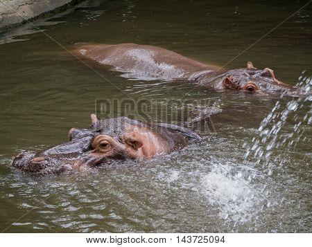 Portrait Hippopotamus Amphibius