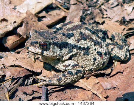 Far-Eastern Toad (Bufo Gargarizans) 2