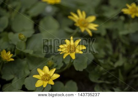 Yellow flowers in the park. Flower the Ficaria with leaves in spring.