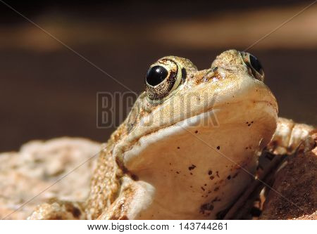 brown frog or toad, close-up shot with selective focus.