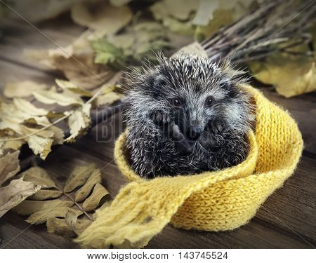 Young hedgehog rolled into a ball deployed scarf in autumn leaves on the wooden floor
