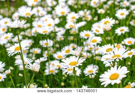 Daisies on meadow with beautiful blur effect. Close-up.