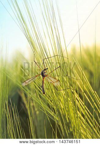Crane fly sitting in a green crop field.