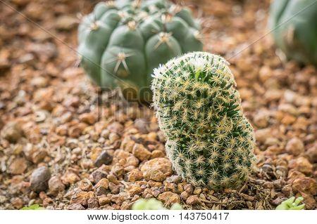 Cactus in desert. Domestic cactus close up.