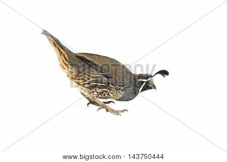 male California Quail on a white background