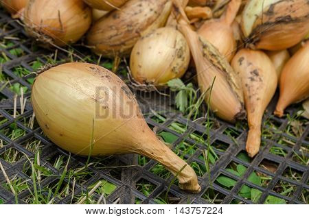 Large crop of onions in the late summer closeup outdoors
