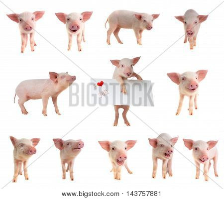 The pigs on a white background. studio