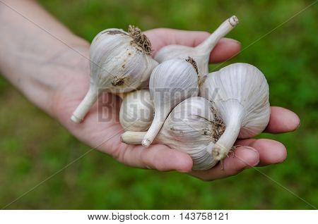 Harvest garlic in late summer in the garden