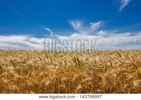 Yellow wheat field under the blue sky