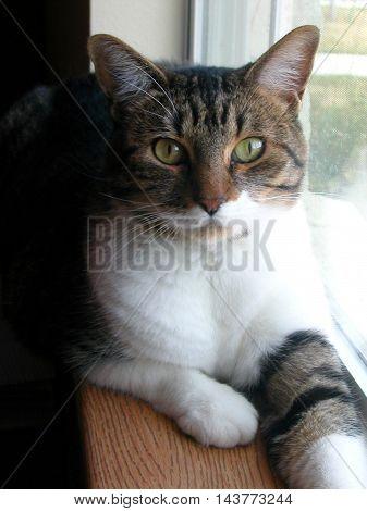 Tabby cat feline portraiture by window in sunlit room