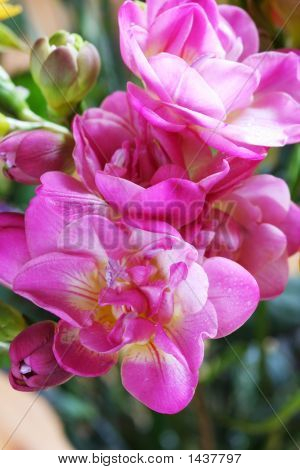 Flower  Freesia