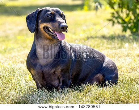 Russelle the weiner dog is sitting in the grass smiling at his brother Brad.