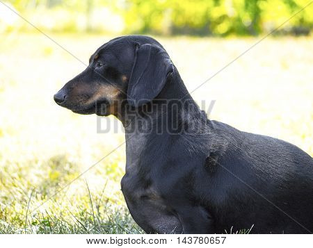 Russelle the weiner dog is staring trait ahead intently