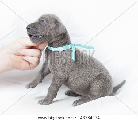 Purebred grey Great Dane puppy that is getting feisty