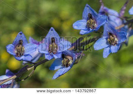 beauty blue flowers Delphinium elatum close-up .