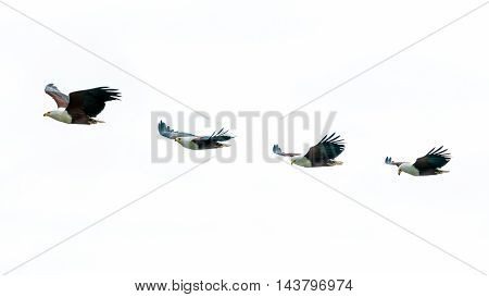 African Fish-eagles In Mid Flight