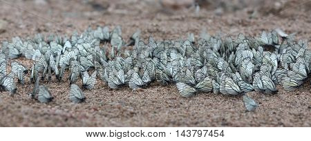 many butterflies sitting on the sand closeup