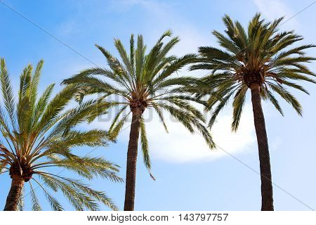 Crowns And Fronds Of Tropical Palm Trees