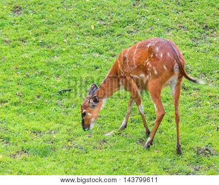 Western Sitatunga (Tragelaphus spekii gratus). Activity of young Sitatunga female antelope eating grass. Pasture of wild animal on the meadow.