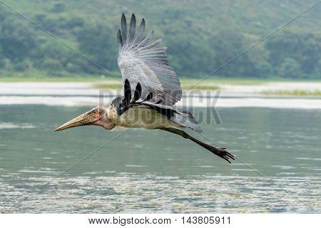 Marabou Stork In Mid Flight
