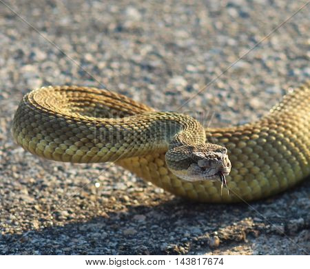 Rattlesnake coiled to strike with forked tongue out close up.