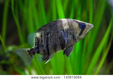 Indonesian tigerfish (Datnioides microlepis), also known as the Indonesian tiger datnoid. Wildlife animal.