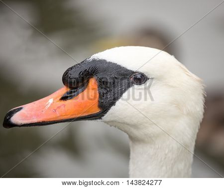 Mute Swan, Cygnus olor, Adult, close-up. The exotic Mute Swan is the elegant bird of Russian ballets and European fairy tales.